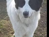 Great Pyrenees - Bella - Extra Large - Young - Female -