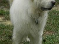 Great Pyrenees - Bobby - Large - Adult - Male - Dog
