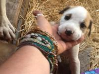Great Pyrenees Boxer Puppies Send me a message, both