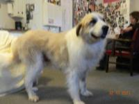 Great Pyrenees - Bubba - Large - Adult - Male - Dog All
