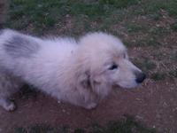 Great Pyrenees - Captain - Large - Young - Male - Dog A