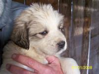Great Pyrenees - Cindy - Large - Adult - Female - Dog