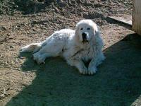 Great Pyrenees - Cisco - Extra Large - Adult - Male -