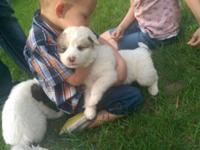 Beautiful, Family raised Great Pyrenees cross puppies.