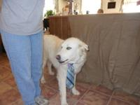Great Pyrenees - Cyrus - Extra Large - Adult - Male -