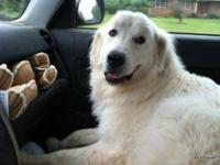 Great Pyrenees - Dinozzo - Extra Large - Adult - Male -