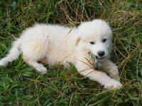 We have a 1 1/2 year old Great Pyrenees male named