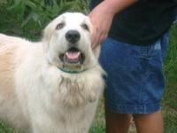 Great Pyrenees - Freedom - Extra Large - Young - Male -
