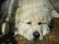 Great Pyrenees - Gemma - Large - Adult - Female - Dog