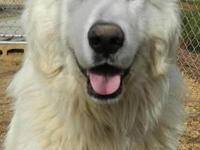 Great Pyrenees - Griffin - Extra Large - Young - Male -