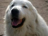 Great Pyrenees - Guinness - Extra Large - Adult - Male