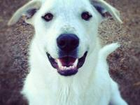 Great Pyrenees - Harry - Extra Large - Young - Male -