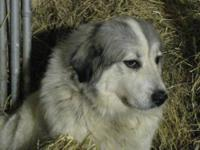 Great Pyrenees - Hershey - Large - Young - Female -