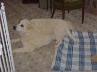 Great Pyrenees - Hollie - Extra Large - Adult - Female