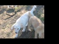 Great Pyrenees - Howe - Large - Baby - Female - Dog Hi