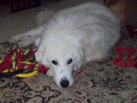 Great Pyrenees - Izzy - Large - Adult - Female - Dog