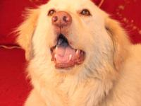 Great Pyrenees - Jack - Large - Adult - Male - Dog Jack