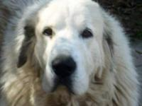 Great Pyrenees - Juliette - Extra Large - Adult -