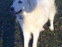 Great Pyrenees - Kensie - Medium - Adult - Female -