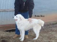 Ice AGe is a 1 1/2 year old Great Pyr Male, needing a