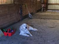 2 year old neutered Great Pyrenees for sale. He used to