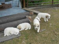 Full blooded male great Pyrenees puppies. One tan/white