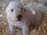 2 LGD dogs available, 1 solid white male, 1 badger