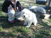 We have 10 LGD/livestock guardian puppies born March
