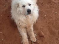 Animals Guardians. Great Pyrenees/Maremma Sheepdog