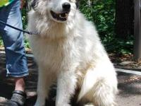 Great Pyrenees - Maxwell - Extra Large - Young - Male -
