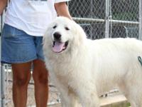Great Pyrenees - Mighty - Extra Large - Young - Male -