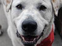 Great Pyrenees - Molly - Large - Young - Female - Dog