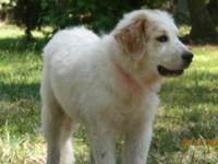 Great Pyrenees - Nan - Large - Baby - Female - Dog Nan