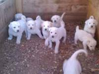 Needing to Rehome some farm raised great pyrenees great