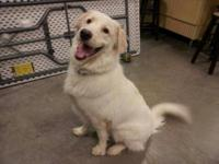 Five year old unaltered male Great Pyrenees mix. Born