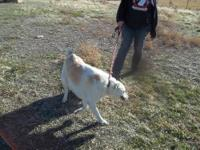 Great Pyrenees - Parker - Large - Adult - Male - Dog