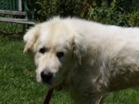 Great Pyrenees - Pumba - Large - Adult - Male - Dog Hi!