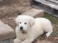 16 week old Great Pyreneese puppies. 5 males left. Pure