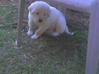 Five males and one female, Great Pyrenees. They will be