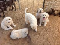 Cute 3/4 Pyrenees pups. Two females are available. Our