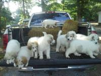 Litter of nine Great Pyrenees puppies! Born on April