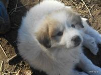 Full blooded great Pyrenees puppies. Call  or email.