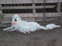These adorable Great Pyrenees puppies were born