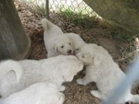 Great Pyrenees young puppies, pure blood. Both parents