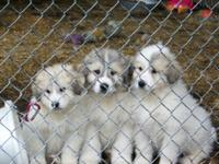 AKC Great Pyrenees Puppies, Pet, Show, Livestock