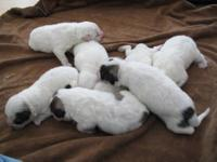 Litter of 7 Great Pyrenees puppies born 08/20/12