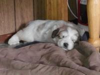 Three male Great Pyrenees puppies for sale born Oct