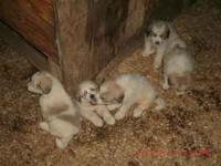 We have 3 great pyrenees puppies for sale.Both parents