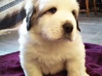 We have 3 Great Pyrenees young puppies (1 male & & 2