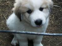 Great Pyrenees pups from LGD lines. Previous litters